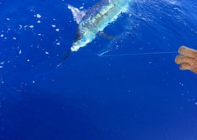 blue-marlin-3-1