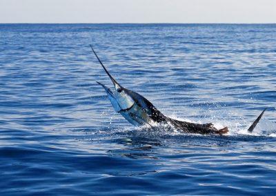 swordfish_header